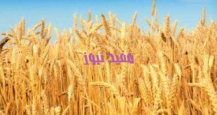 202004101246544654 310x165 - التموين تواصل استلام القمح من المزارعين بـ685 جنيها للأردب لليوم الثالث